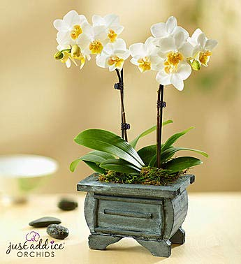 1800Flowers Small Asian Dance Orchid