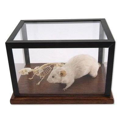 3B Scientific T31001 Mouse Skeleton and Stuffed Mouse Display by 3B Scientific