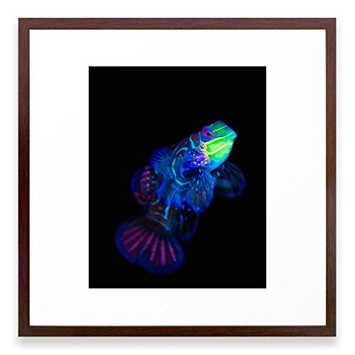 Society6 Mandarin Dragonet 001 Framed Print Conservation Walnut MEDIUM (Mandarin Walnut)