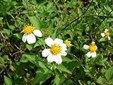 Bidens Pilosa Alba,Butterflies Garden Spanish Needles 15 + Rooted Plants Herb