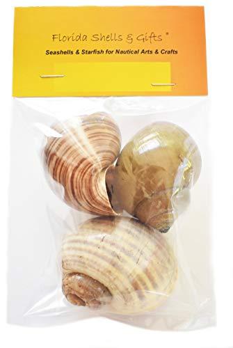 3 Large Land Snail Shell Hermit Crab Changing Set - Large 1 1/2