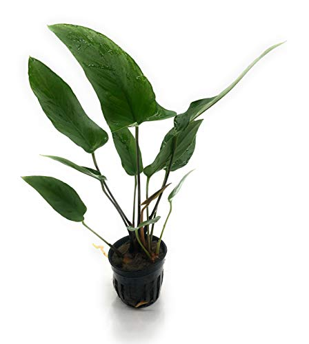 SubstrateSource Anubias hastifolia Arrowhead Live Aquatic Aquarium Plant (1 Pot)
