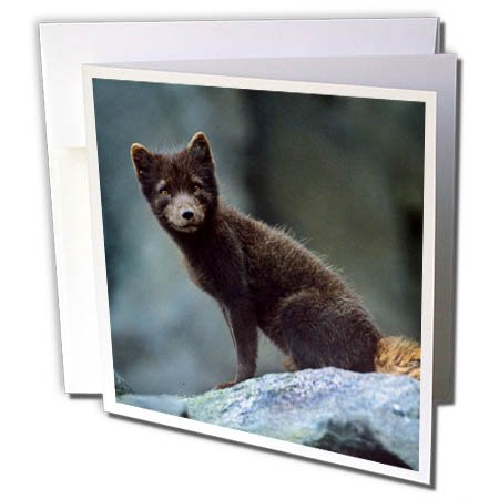 3dRose Danita Delimont - Foxes - Arctic fox, vulpes lagopus, in summers blue phase, Alaska USA - 6 Greeting Cards with envelopes (gc_258666_1) (Fox Arctic Grey)