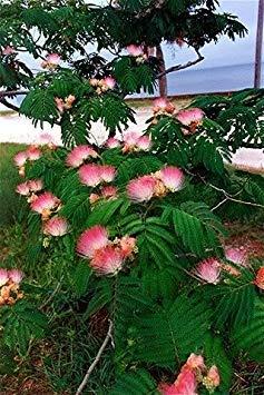 25 MIMOSA / PERSIAN SILK TREE Albizia Julibrissin Seeds ()