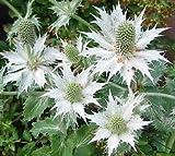 30+ Eryngium Silver Ghost Sea Holly Flower Seeds / Perennial