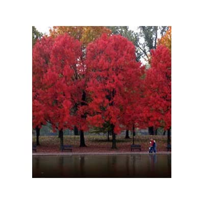 Maple Red (Acer Rubrum) Nice Garden Tree Seeds by Seed Kingdom Bulk 600 Seeds : Garden & Outdoor