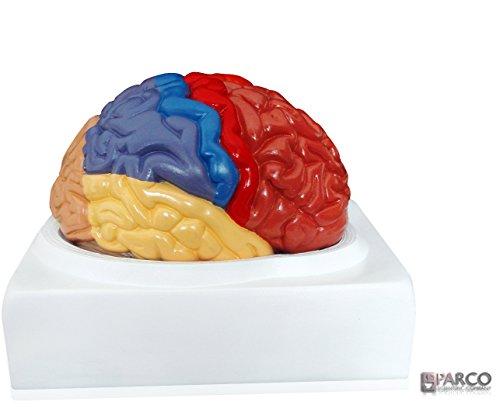 Parco Scientific PB00108, Regional Human Brain Model, 2 Parts, Life (Deluxe Brain Model)