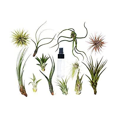 25 Bulk Air Plant Assortment w/Spray Bottle / 12 Different Plant Varieties/Up : Garden & Outdoor