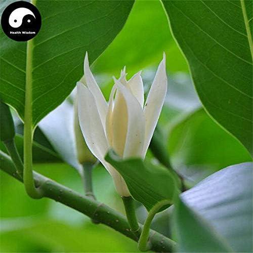Amazon Com 50pcs Buy Magnolia Tree Seeds Plant Magnolia Denudata