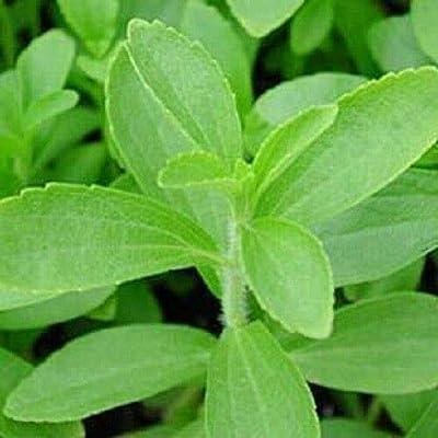 50 Stevia Rebaudiana Sweetleaf Sugar Herb Flower Seeds #SFB : Garden & Outdoor