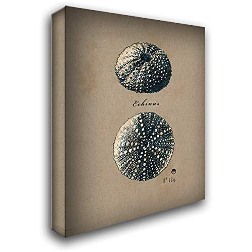Andrew Design Regina - Vintage Linen Sea Urchin 28x36 Gallery Wrapped Stretched Canvas Art by Regina Andrew Design