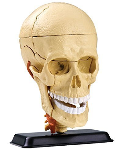 Cranial Nerve Skull Anatomy Model- Build your own Anatomy Skull Model