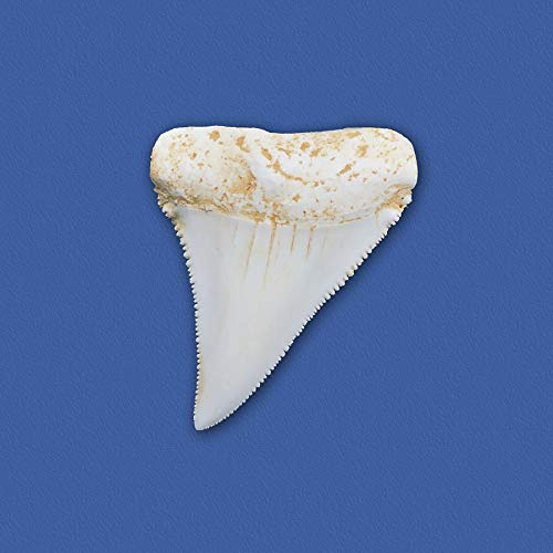 Nature-Watch Great White Shark Tooth Replica ()