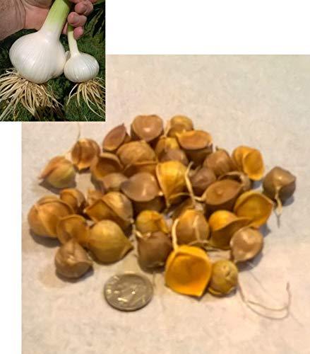 Shoppy Star Germinación de las semillas: ajo elefante bulbillos (50 bulbillos)
