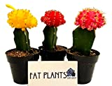 Fat Plants San Diego Small Grafted Moon Cactus Succulent Plants - (3, Multi)