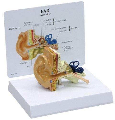 ear anatomy model - 5