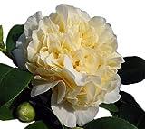 Jurys Yellow Camellia Japonica - Live Plant - Quart Pot