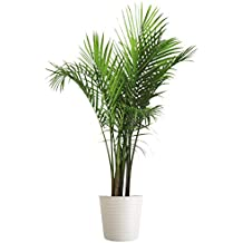 Costa Farms Majesty Palm Tree, Live Indoor Plant, 3 to 4-Feet Tall, Ships with Décor Planter, Fresh From Our Farm, Excellent Gift or Home Décor