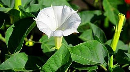 Amazon White Datura Jimson Flower 10 Seeds Huge Flowers Easy