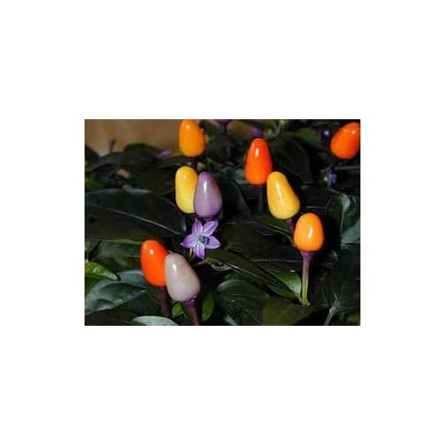 *Seeds & Things 10+ BOLIVIAN RAINBOW ORNAMENTAL HOT CHILE PEPPER SEEDS-- supplier
