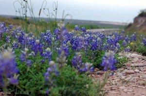 Lupine Texas Bluebonnet Nice Garden Flower By Seed Kingdom BULK 1 Lb Seeds by Seed Kingdom (Image #3)