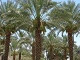Date Palm Tree - Medjool 4 ft. tall by Hardy Palm Tree Farm
