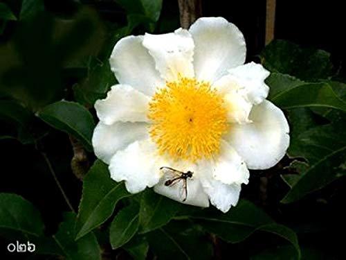 Go Garden 5 Seeds Mesua Ferrea Rare Sri Lankan Ironwood Indian Rose Chestnut Cobra'S C360
