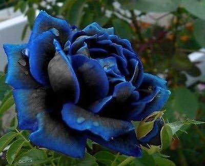 Seltene Black Rose Blumensamen Gartenpflanze
