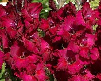 (2) Plum Tart Gladiolus, Beautiful Flowering Sword Lily, Gladioli Bulbs,plants,perennials, Great Flower ()