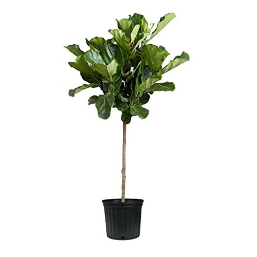 "Fiddle Leaf Fig Live Tree - Beautiful! - 48"" Tall - Ficus Lyrata - Florist Quality - 3 Gallon Container"