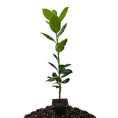 Nellie R. Stevens Holly - Live Seedling - Evergreen Privacy Hedge (Ilex Nellie R Stevens Evergreen Holly Shrub)