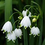 10 bulbs Have one to sell? Sell now LEUCOJUM AESTIVUM AMARYLLIS FAMILY LARGE BULBS PLANT NOW= SPRING FLOWERS
