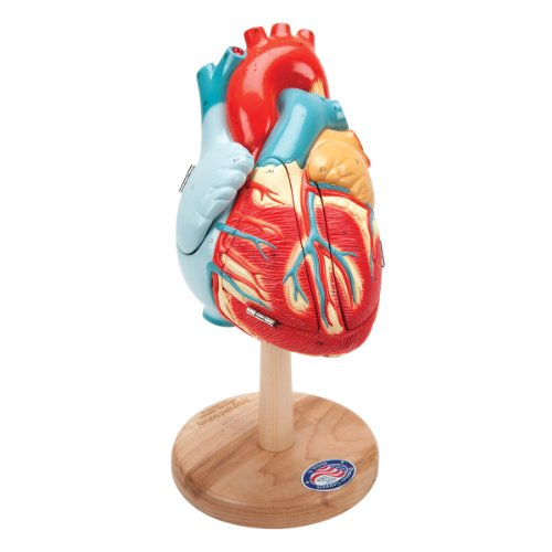Denoyer Geppert 0140-00 The Original Heart of America Model, 7 Length x 7  Width x 15 Height