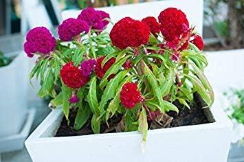 Semillas BloomGreen Co. Flor: Celosia de Cockscomb Dwarf Mix (cristata Nana) Las semillas de la planta del jardín de flores de Home Depot (2 paquetes) Semillas de plantas de jardín