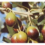 Vivai Gardenhome - Olivo Frantoio