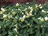 1 Starter Plant of Polygala Chamaebuxus - Shrubby Milkwort