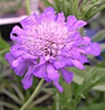 """(PSC)~""""BUTTERFLY BLUE"""" SCABIOSA-Seeds!~~~~~~~~Drought & Deer Resistant!"""