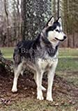 Siberian Husky (Grey) Flag 28 x 40