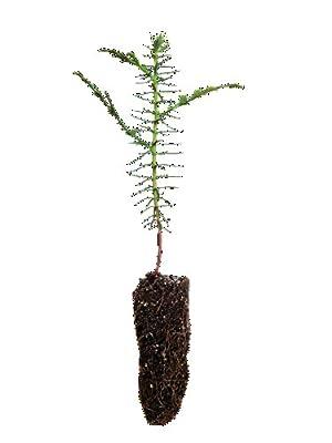 Western Red Cedar (Thuja plicata) – Small