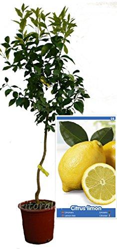 Citronnier Eureka 4 saisons – Arbre Fruitier écologique de 2 ans