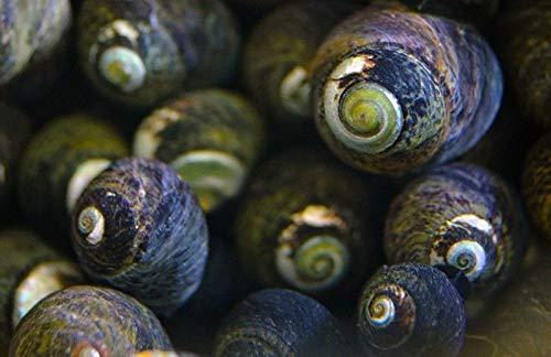 Thai Live Aquarium 50 Black Margarita Snail Slime/Hair Algae Eater Clean Up Crew