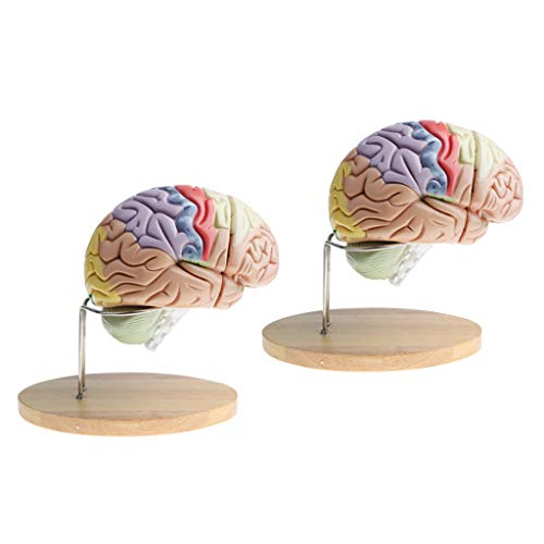 - Flameer Pack of 2 Sets Magnification 2X Removable 4 Parts Human Brain Brainstem Lab Model with Colored Brain Functional Areas Median Section