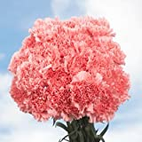 GlobalRose 400 Fresh Cut Pink Carnations - Fresh Flowers Wholesale Express Delivery