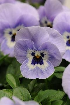 hazzards-seeds-viola-shangri-la-marina-250-seeds