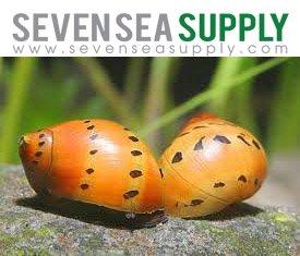 (SevenSeaSupply 5 Live Tiger Nerite Fresh Water Aquarium Snails)