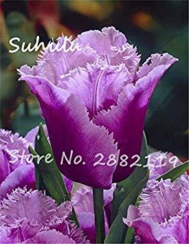 Fiori Belli.Vistaric Tulipano Raro Semi Di Fiori Belli 30 Semi Bag Semi Di
