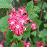 10 graines GROSEILLIER A FLEURS(Ribes Sanguineum)G461 REDFLOWER CURRANT SEEDS