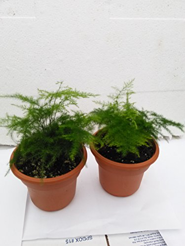 Cheap  Two Fern Leaf Plumosus Asparagus Fern 4.5