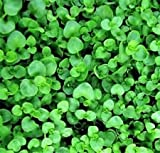 20 Corsican Mint Mentha Requienii Herb Fragrant Ground Cover Flower Seeds + Gift
