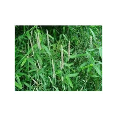 Creeping Foxtail Grass Seed (Garrison, Coated) - 1/4 Pound - Wizard Seed LLC : Garden & Outdoor